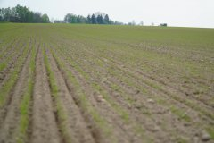 Młoda trawa Barenbrug - 14 dni od siewu