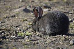 Młody królik