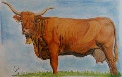 Obraz Krowa salers