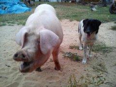 Świnia i pies