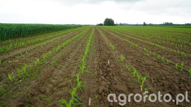 Kukurydza- odchwaszczanie