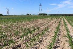 Kukurydza po pryzmie obornika