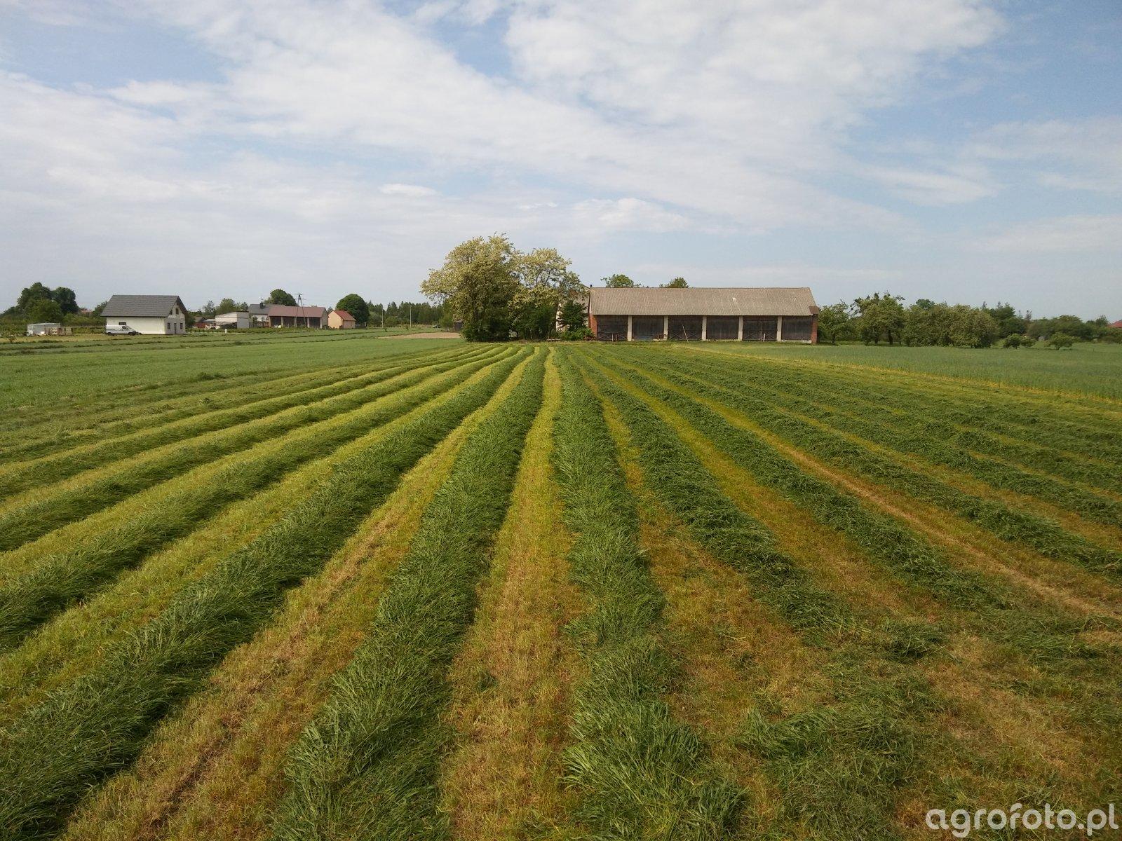Pierwszy pokos trawy Barenbrug BG4 Milkway