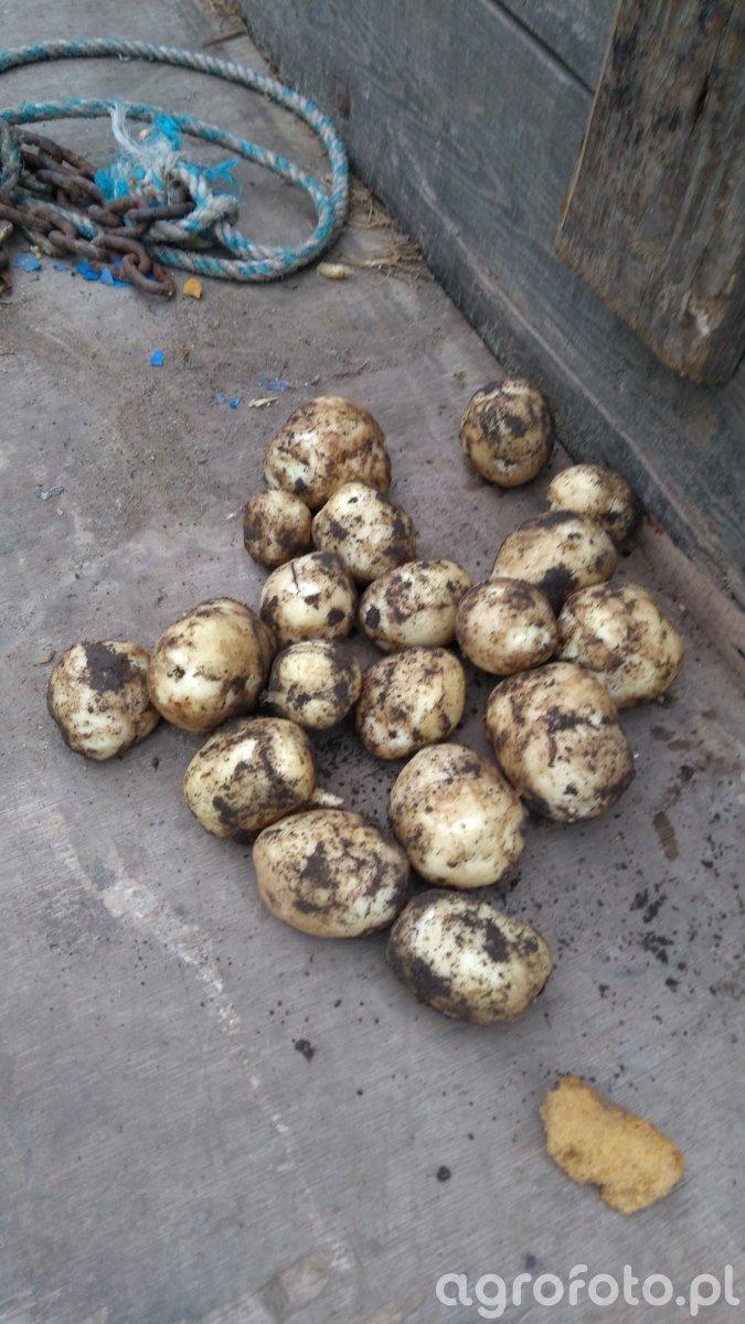 Ziemniaki wczesne stan na 12.05.2018