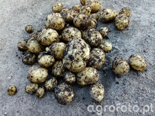 Ziemniaki wczesne Riviera 19.05