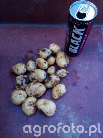 Ziemniaki wczesne z pod przykrycia sadzone 07.04