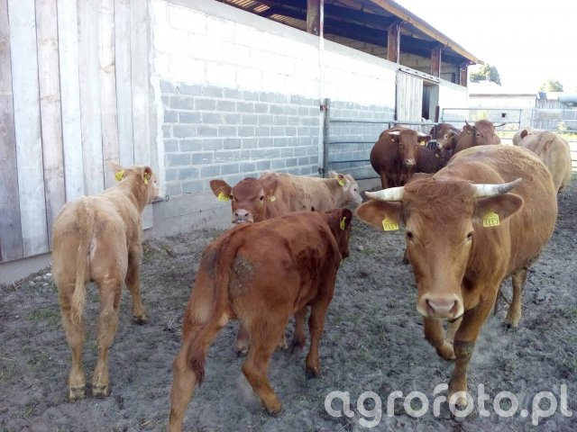 Cielaki & krowy