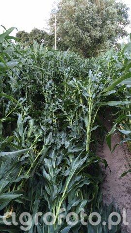 Kukurydza po burzy