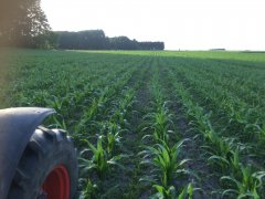 Kukurydza po zycie na kiszonke