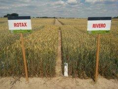Pszenice Rotax vs. Rivero