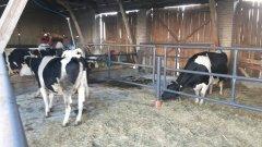 Kojce dla krów zasuszonych
