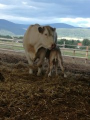 Krowa i cielak