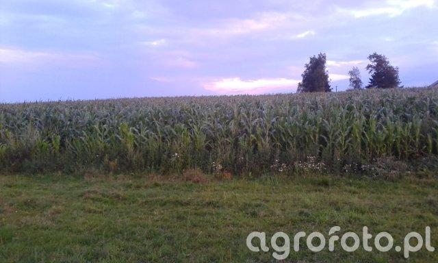 Kukurydza Glejt