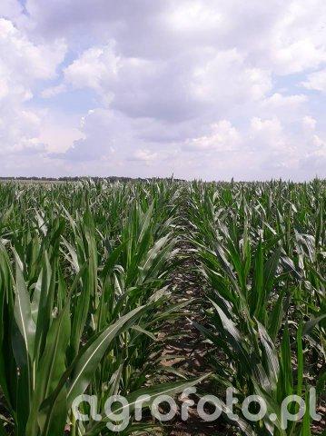 Kukurydza Opcja
