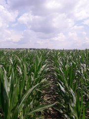 Kukurydza Opcja po życie na kiszonkę