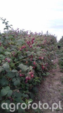 Rośliny owocowe