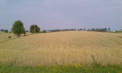 Mieszanka pszenica jęczmień owies