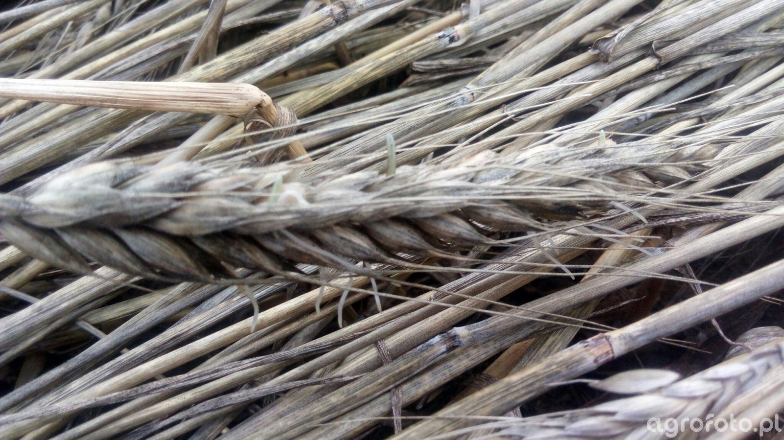 porastające pszenżyto
