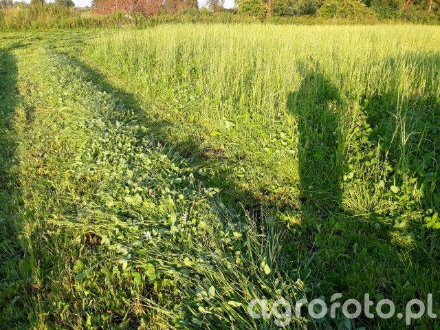 Trawa z koniczyną