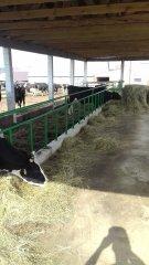 Wiata dla krów