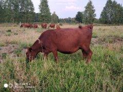 Krowa Angus