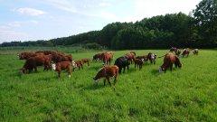 Krowy hereford