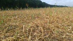 Kukurydza przy lesie