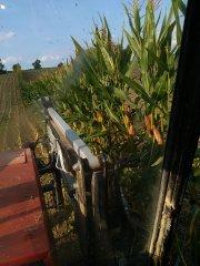 kukurydza rosomak