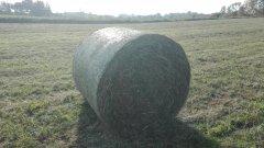 Belka z koniczyny i trawy