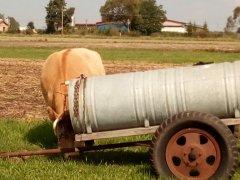 Krowa mm 50% lm