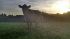 krowa o zachodzie słońca