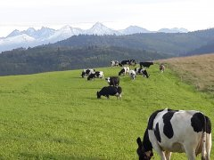 krowy ZB