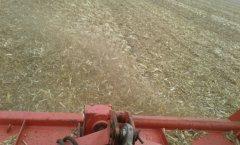 mulczowanie kukurydziska