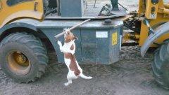 Pies Wieho