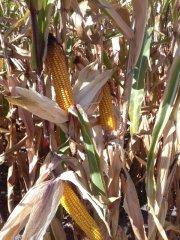 żniwa kukurydzy 2018
