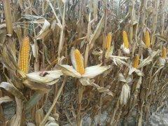 Kukurydza Farm Sat