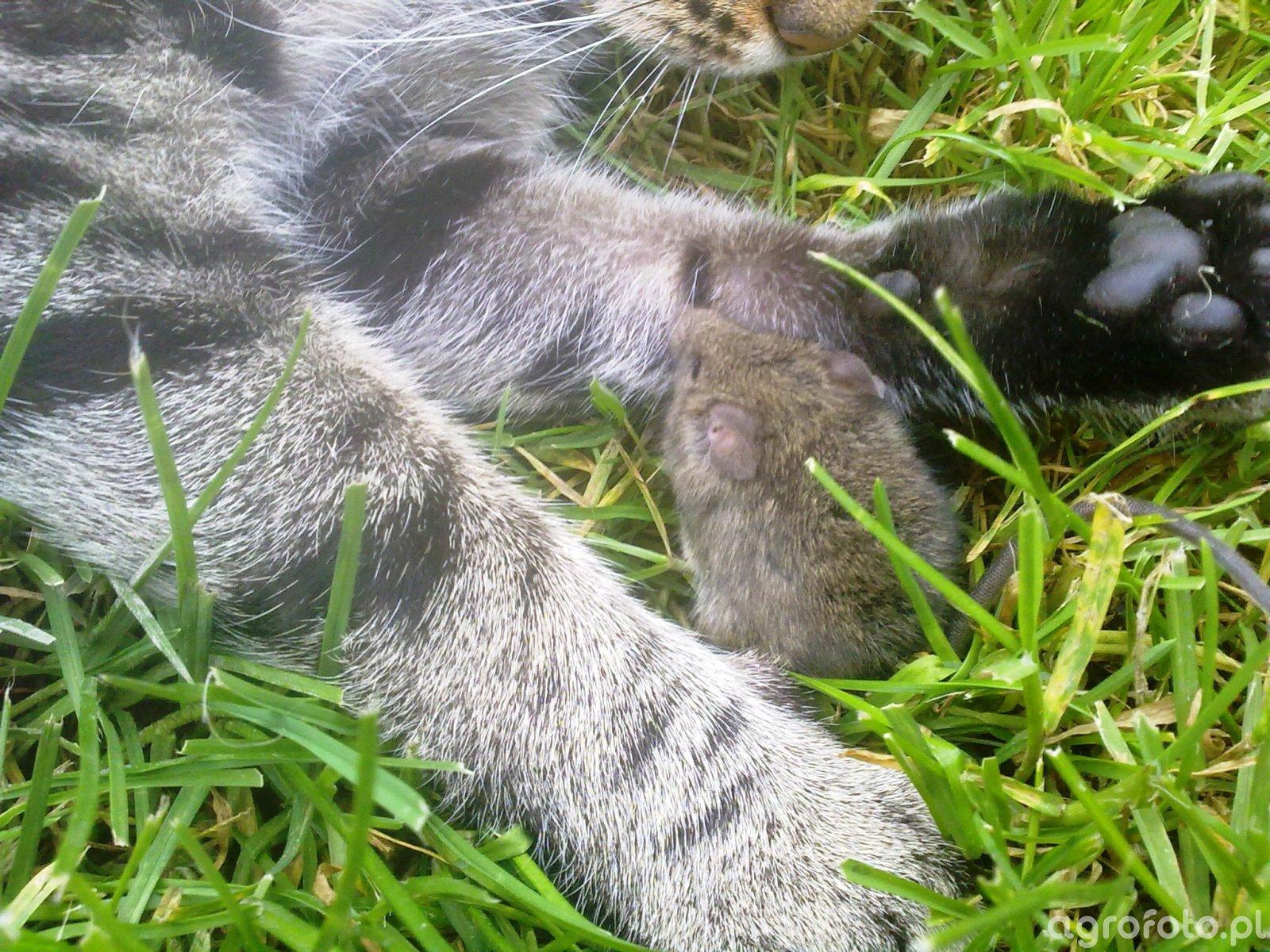 Kot + mysz