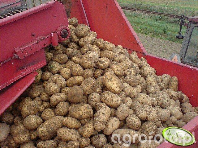 Ziemniaki Satina
