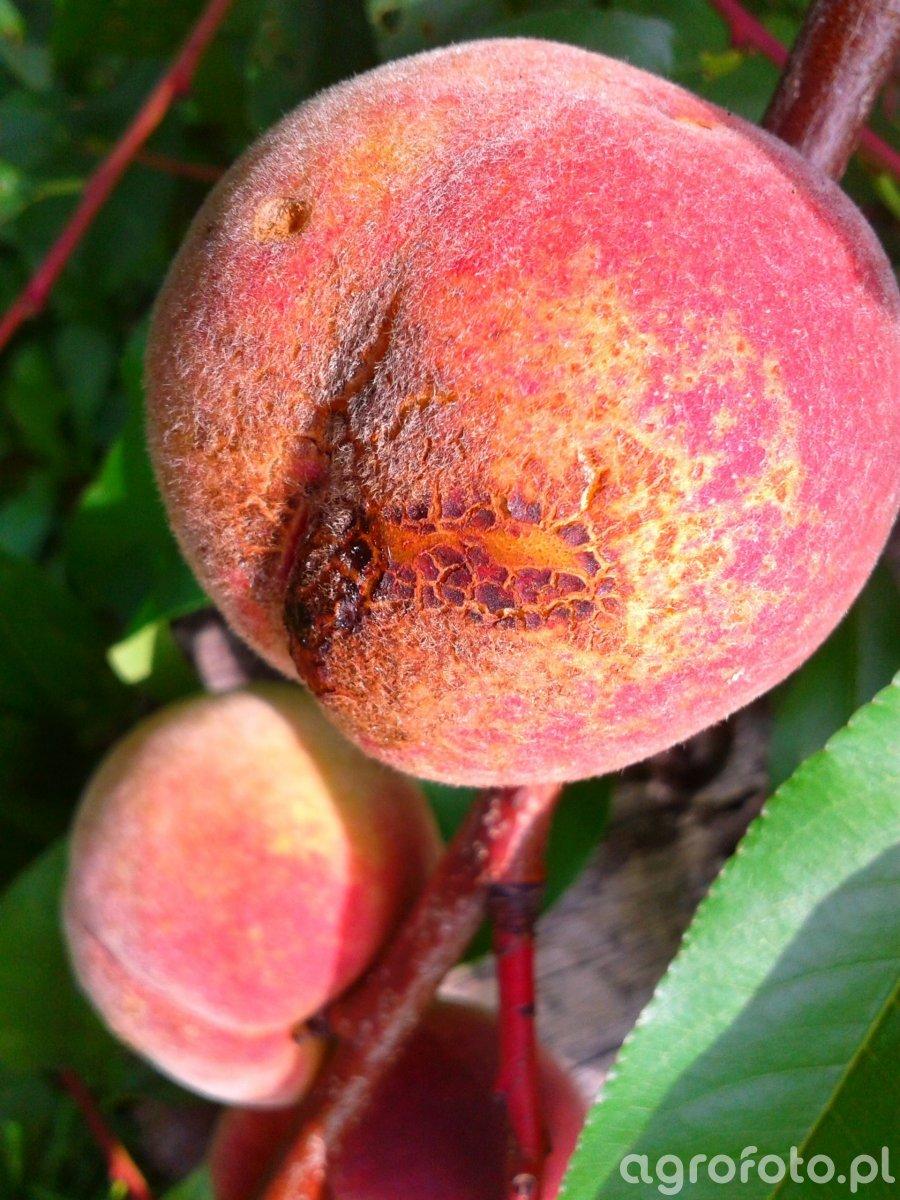 Rak bakteryjny brzoskwini