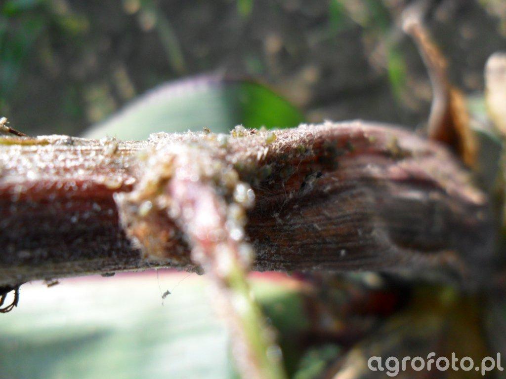 Mszyca różano-trawowa