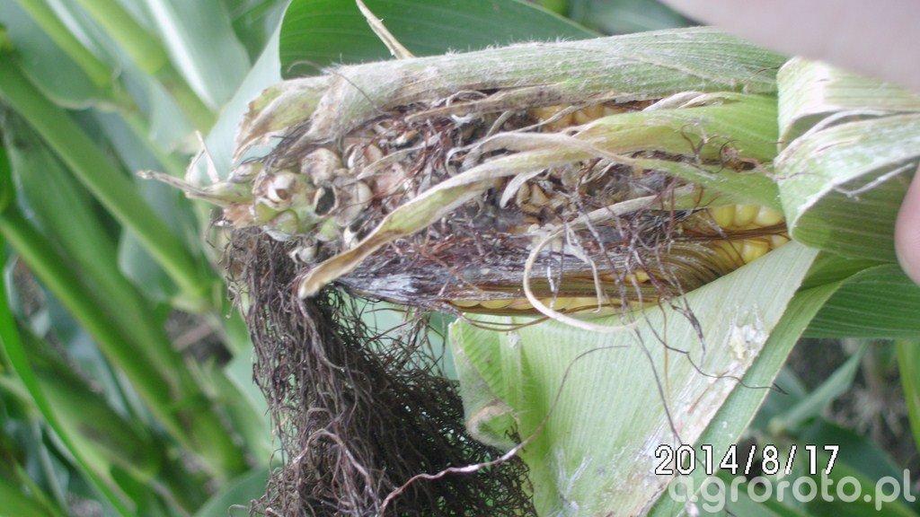 Fusarium kukurydzy