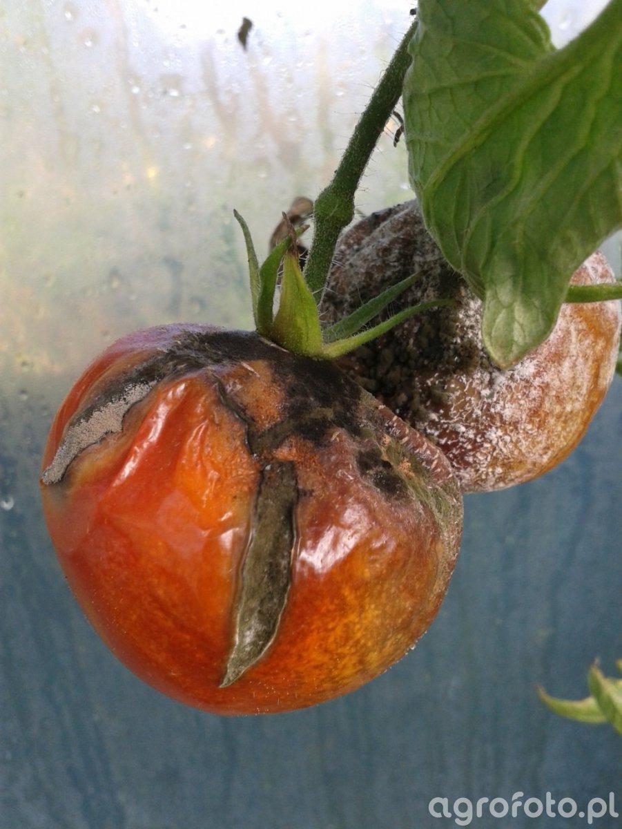 Szara pleśń & Alternarioza pomidora & Zaraza ziemniaczana