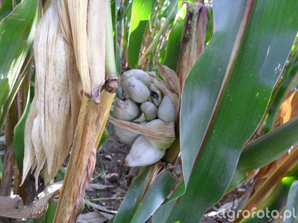 głownia guzowata kukurydzy