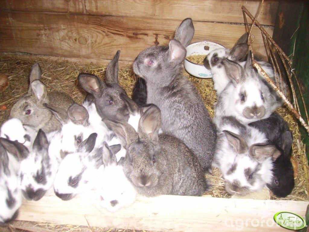 Młode króliczki