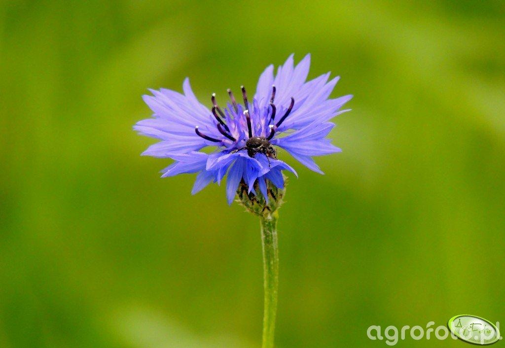 Żuk na kwiatku