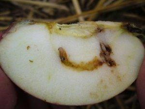 Owocówka jabłkóweczka - gąsienica