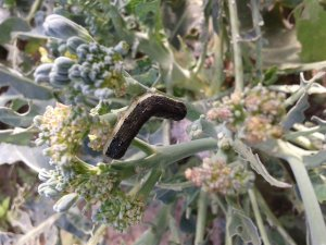 Piętnówka kapustnica