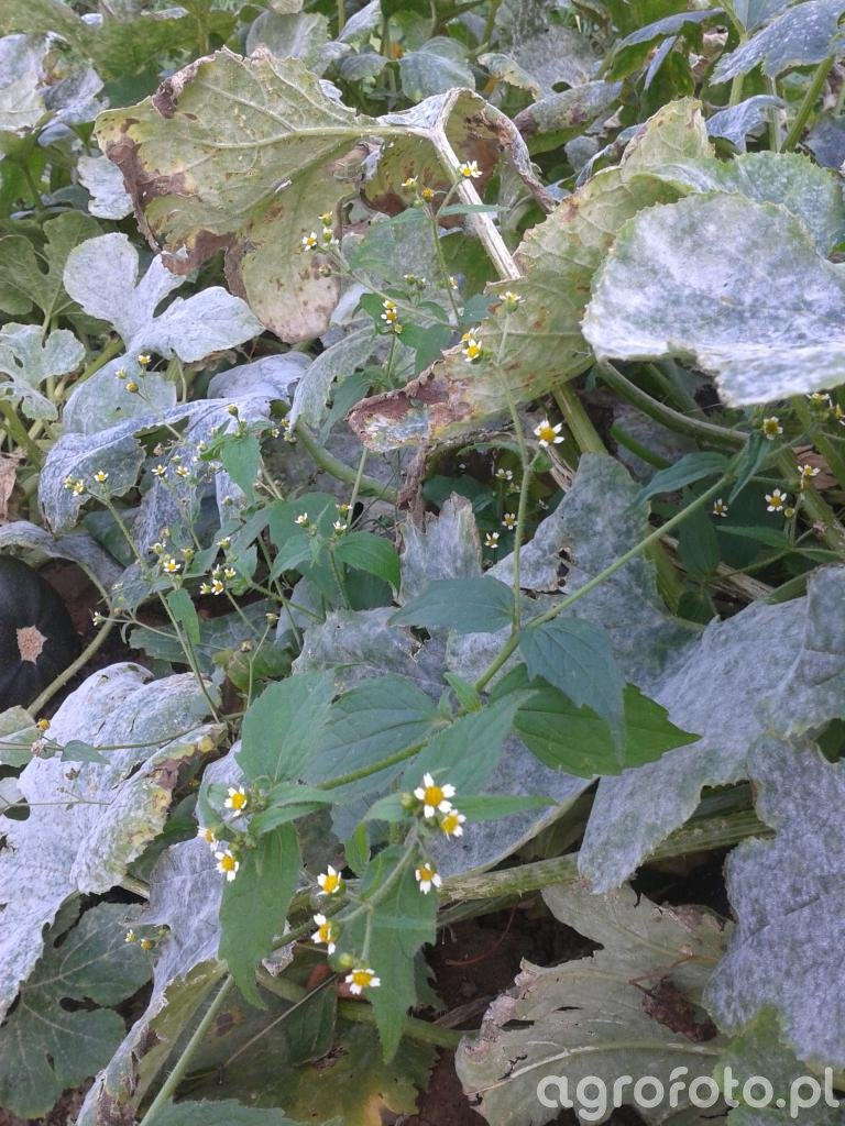 Żółtnica drobnokwiatowa