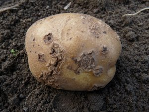 Parch zwykły ziemniaka