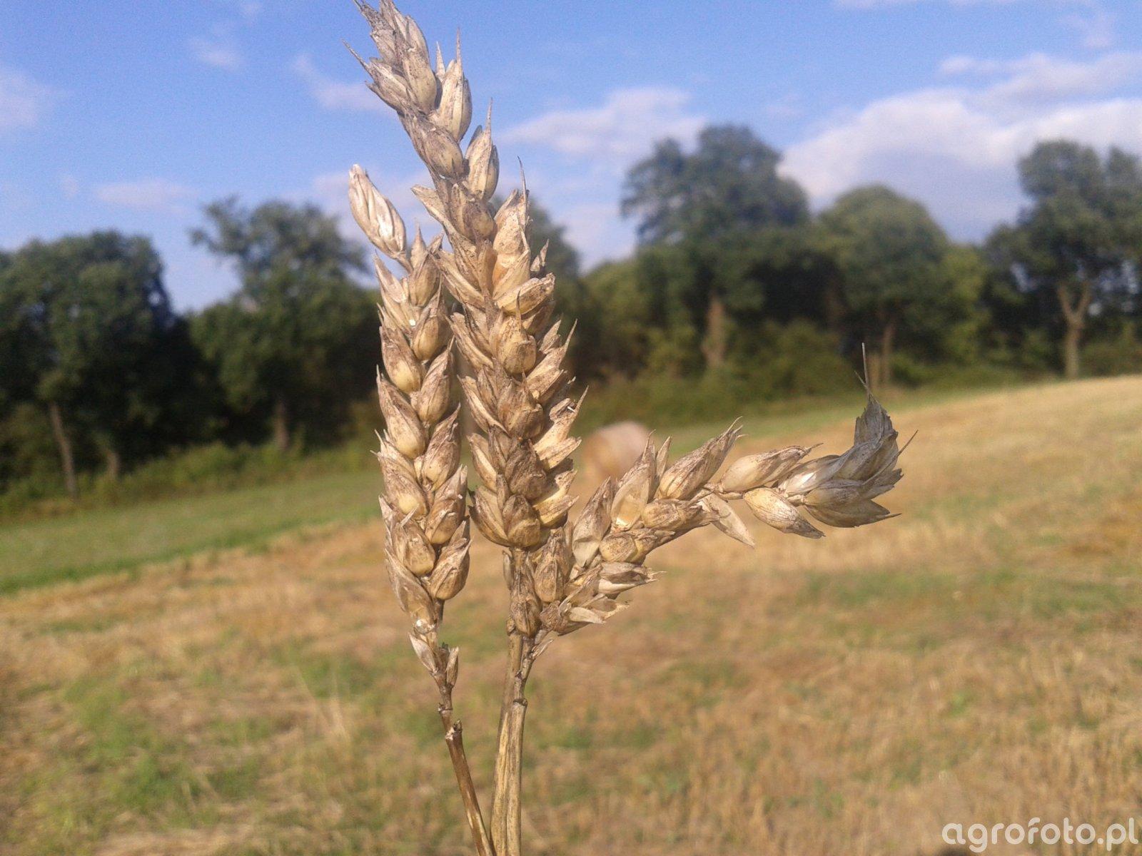Czerń zbóż